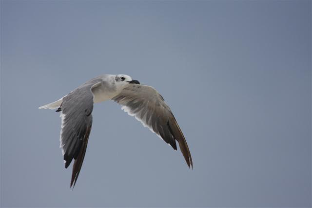 Laughing Gull(second winter)