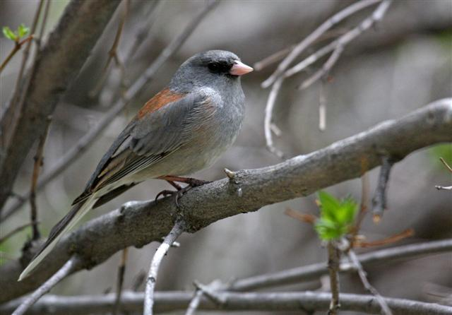 Gray-headed Dark-eyed Junco
