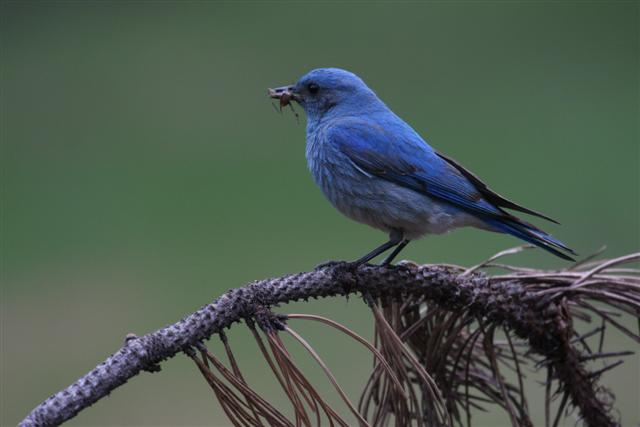 Mature Male Mountain Bluebird