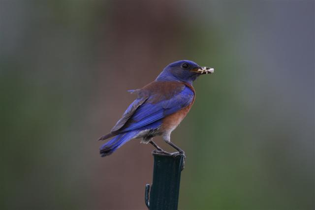 Mature Male Western Bluebird