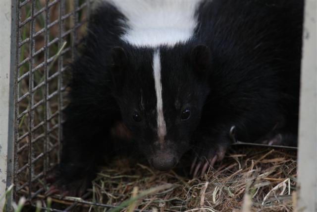 One unhappy skunk