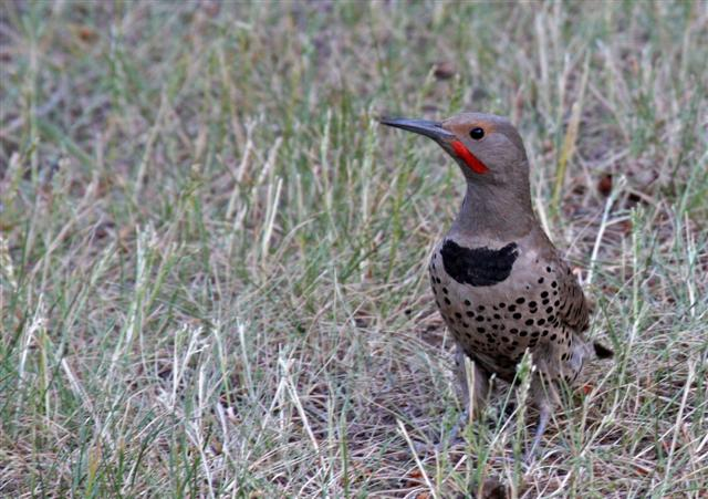 Northern (Red-Shafted) Flicker