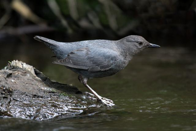 American Dipper