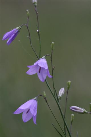 Harebell